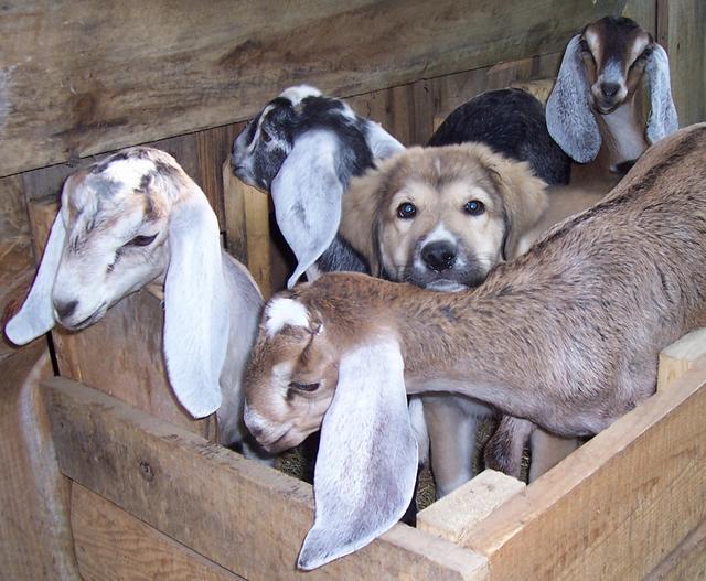 anatolian shepherd puppies for sale