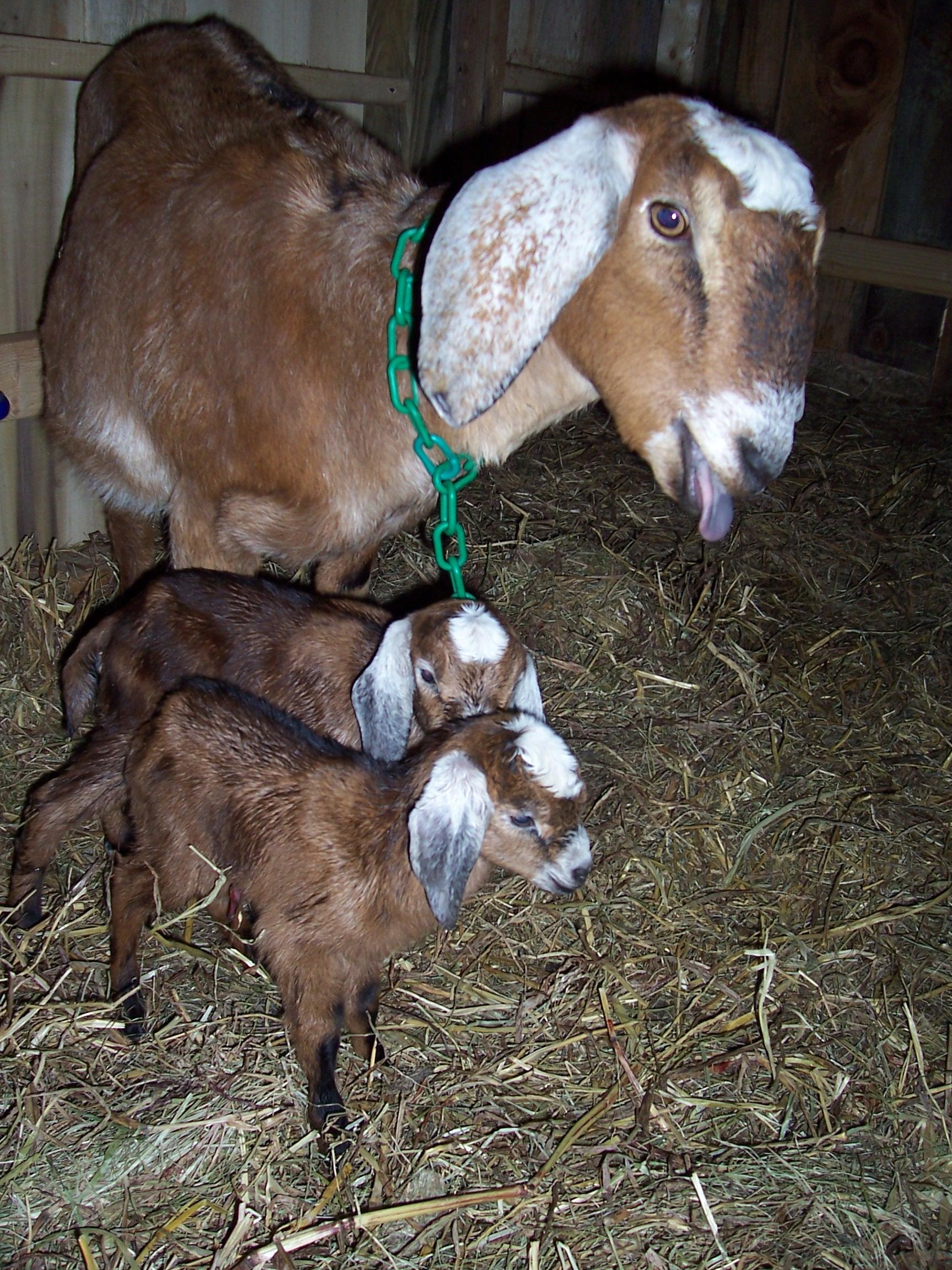 Nubian dairy goat